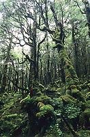 An amazingly beautiful, heavily moss cloaked bush near Taipo Hut on the Wangapeka Track - Kahurangi National Park
