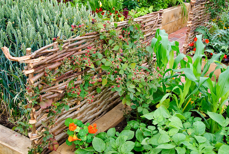 Growing Fruit & vegetables Blackberries berry bushes on willow fence, wheat, nasturtiums, corn
