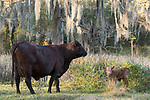 Brazoria County, Damon, Texas; a newborn brown calf standing in the pasture while its mother keeps a watchful eye nearby