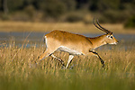 Male Red Lechwe (Kobus leche) in flooded areas. Selinda Spillway, Okavango Delta, Botswana.