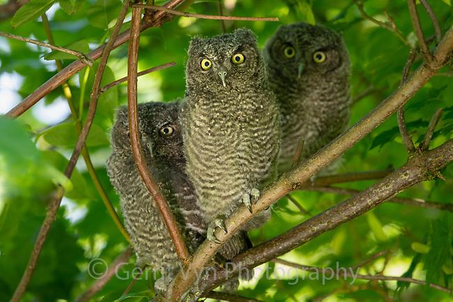 Western Screech-Owl (Megascops kennicottii) fledglings. Multnomah County, Oregon. June..