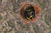 Mauer-Lehmwespe, Mauerlehmwespe, Lehmwespe, Schwarzfühler-Hakenwespe, Weibchen im Nestloch, Niströhre, Ancistrocerus nigricornis, Solitäre Faltenwespen, Eumeninae, potter wasp, female, potter wasps, mason wasp, mason wasps