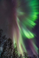 The aurora borealis hovers over birch trees in Fairbanks, Alaska.