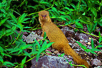 A mongoose in the forest on the big island.