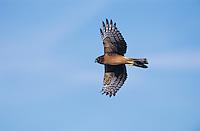 Northern Harrier, Circus cyaneus, female in flight,Lake Corpus Christi, Texas, USA, March 2003
