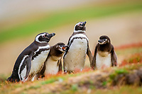 Magellanic penguin, Spheniscus magellanicus, adult and chick, Saunders Island, Falkland Islands, Atlantic Ocean