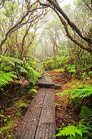Mist surrounds the boardwalk of the Alaka'i Swamp Trail in Koke'e State Park, Kaua'i.