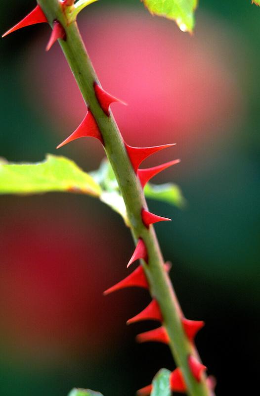V00060.tif   Thorns on rose stem. Sacramento, California