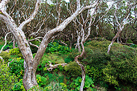 Southern Rata Trees (Metrosideros umbellata) in a Rata forest on Enderby Island in the Aukland Islands, New Zealand.