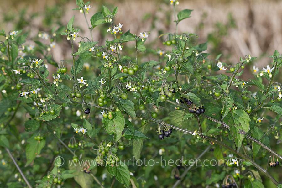 Schwarzer Nachtschatten, Blüten und Früchte, Solanum nigrum, Black Nightshade, Common Nightshade