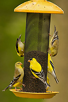 American goldfinches (Spinus tristis) at feeder.  Great Lakes Region.  May.