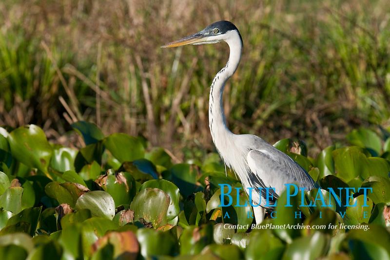 White-necked Heron, Ardea cocoi, Pousada Sao Francisco, Miranda, Mato Grosso do Sul, Pantanal, Brazil