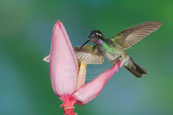 Purple-throated Mountain-gem, Lampornis calolaema, male perched , Central Valley, Costa Rica, Central America