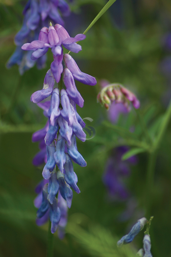 Tufted Vetch (Vicia Cracca)<br /> <br /> Copyright www.scottishhorizons.co.uk/Keith Fergus 2011 All Rights Reserved