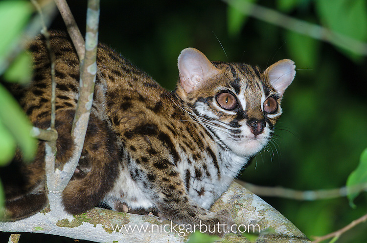 Adult Leopard Cat (Felis bengalensis) in the wild. Resting in canopy of riverine forest, banks of Kinabatangan River, Sukau, Sabah, Borneo.