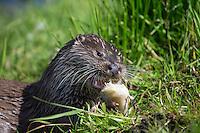 Europäischer Fischotter, frisst erbeuteten Fisch, Barsch, Flussbarsch, Beute, Fisch-Otter, Otter, Weibchen, Lutra lutra, river otter, European otter, female