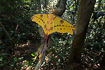 Male Madagascar Comet Moth or Moon Moth (Argema mittrei) in rainforest understory shortly after emerging from cocoon. Mitsinjo Forest, Andasibe-Mantadia National Park, eastern Madagascar.
