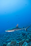 Fakarava Atoll, Tuamotu Archipelago, French Polynesia; gray reef sharks swimming in the current along the edge of a coral reef wall