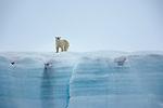 Polar Bear (Ursus maritimus), Svalbard, Norway<br /> Canon EOS-1Ds Mark II<br /> EF500mm f/4L IS USM<br /> July 2005