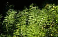 Wald-Schachtelhalm, Waldschachtelhalm, Schachtelhalm, Equisetum sylvaticum, Wood Horsetail