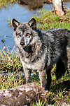 grey wolf charcoal color phase standing over deer carcass looking at camera, vertical