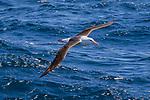 Black-browed Albatross, On Way From Tierra Del Fuego Towards The Falkland Islands