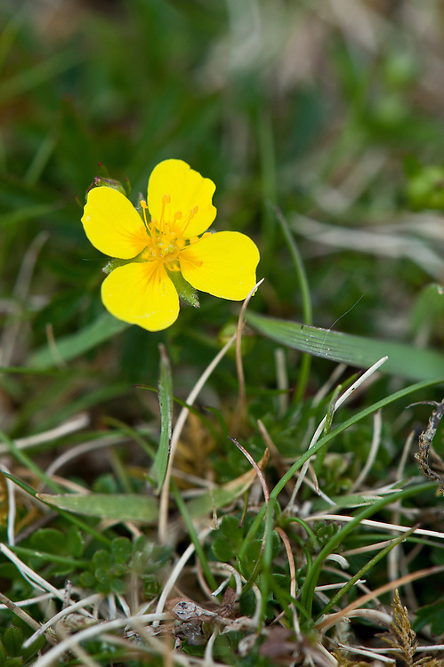 Tormentil (Potentilla erecta), late April. Flowers have four petals and four sepals.