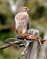 Adult broad-winged hawk on winter vacation in Costa Rica
