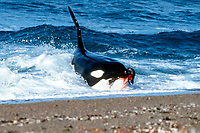 killer whale or orca, Orcinus orca, attacking and seizing a South American sea lion pup, Otaria flavescens, from the beach, Patagonia, Argentina, Atlantic Ocean