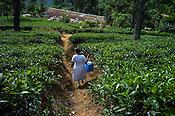 A nurse carries a box of vaccinations through a tea plantation in Eskdale Tea Estate in Nuwareliya in Central Sri Lanka.  Photo: Sanjit Das/Panos
