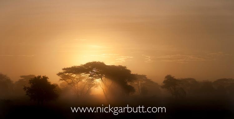 Acacia trees (Acacia sp.) at dawn with dramatic sun beams. Near Ndutu, Ngorongoro Conservation Area / Serengeti National Park, Tanzania.