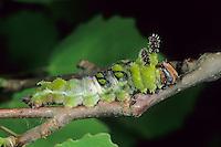 Großer Eisvogel, Raupe, Limenitis populi, poplar admiral, caterpillar, Le Grand sylvain, Nymphale du peuplier, Edelfalter, Nymphalidae