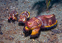 Flamboyant cuttlefish, Metasepia pfefferi, mating female with smaller males, Observation Point, Normanby Island, Milne Bay, Papua New Guinea, Pacific Ocean