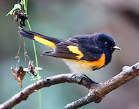 Adult male American redstart in fall migration