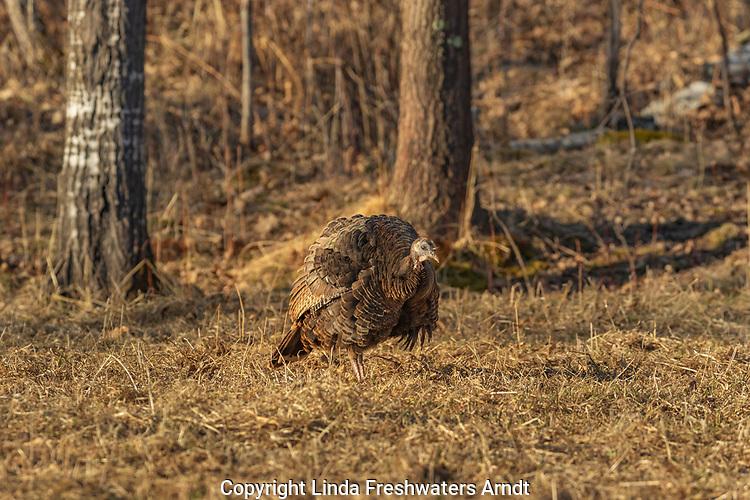 Hen turkey ruffling her feathers in a northern Wisconsin field.