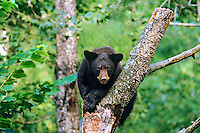 Young Black Bear (Ursus americanus) resting in tree.