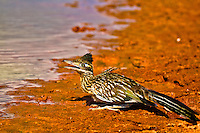 I was fortunate enough to be out with my good friend/photographer Wyman Meinzer during the extreme Texas drought of 2011 and capture this image of a Roadrunner coming to water. We were no more than 8 feet from this Roadrunner but the extreme conditions of drought, heat and water seemed to over ride any fear this Roadrunner might have of us.
