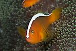Orange anemonefish (Amphiprion sandaracinos)
