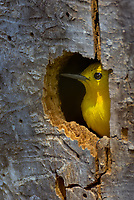 Male Prothonotary Warbler (Protonotaria citrea) in nest cavity in dead snag--was checking out cavity for possible nest site.  Great Lakes Region, May.