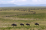 Herds of wildlbeest on the short grass plains of the southern Serengeti during their annual great migration, with hundreds of animals dotting the distant hills.