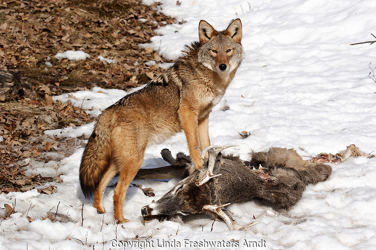 Coyote (Canis latrans) standing on a deer carcass.  Winter.  Minnesota.