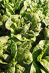Speckeled bibb lettuce.