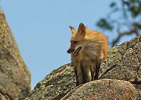 Red Fox looking for food in Yosemite, Calif.