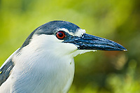 Black-crowned night heron (`auku`u in Hawaiian; Nycticorax nycticorax) at Hamakua Marsh, on the island of Oahu.  This bird is indigenous to Hawaii, but is also found in parts of North and South America.