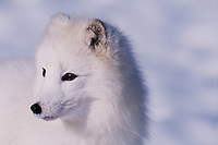 Portriat of a pure white Arctic fox.
