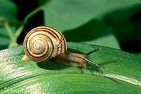 1Y08-083z  Snail - east coast land snail - Sephia hortensis
