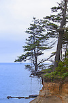 Tree hangs suspended by erosion.  Cape Arago on the Central Oregon Coast with views of Sunset State Park and the Umpqua River Lighthouse, and massive headlands. Near Coos Bay, Oregon, Cape Arago is known for its rugged views, hiking, wildlife, beach access, and Sunset Beach State Park and unique geology.