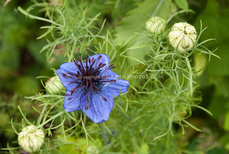 Nigella blue flowers