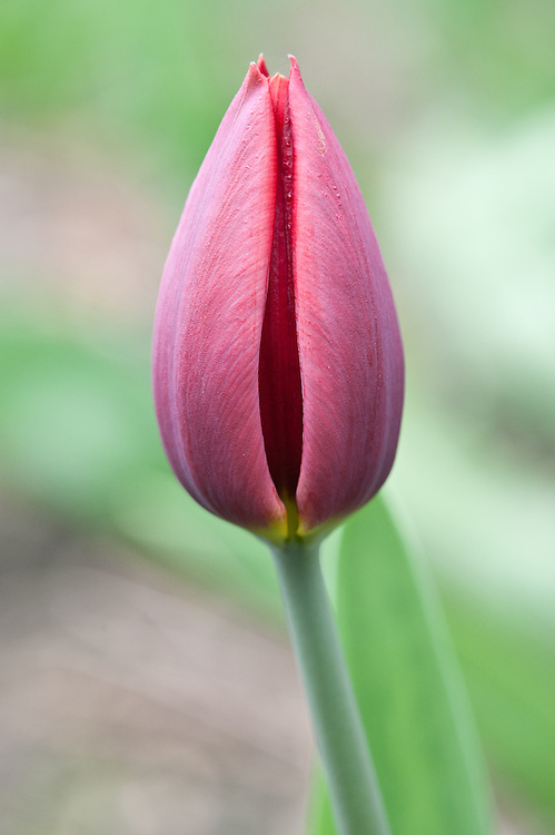Tulipa 'Couleur Cardinal', early April. Triumph Group.