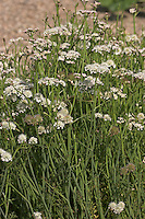 Röhriger Wasserfenchel, Wasser-Fenchel, Oenanthe fistulosa, Water Dropwort
